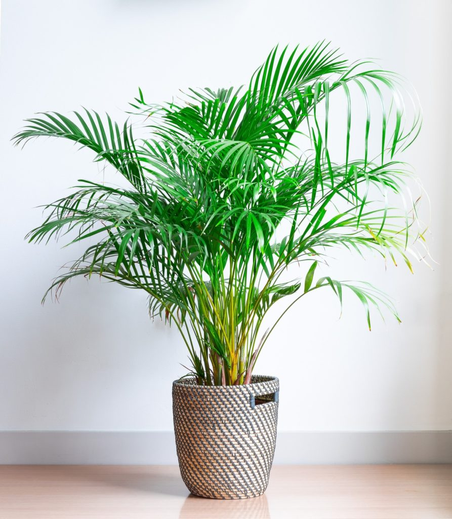 Areca Palm - Moth Orchid - Helping you sleep