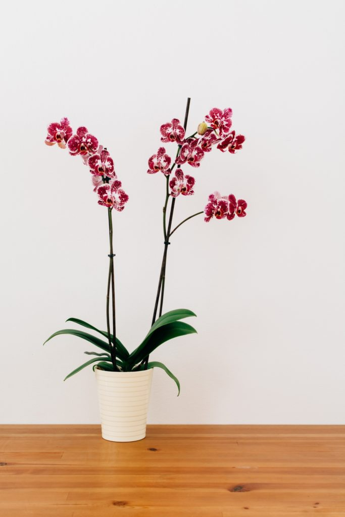 Moth Orchid - Helping you sleep